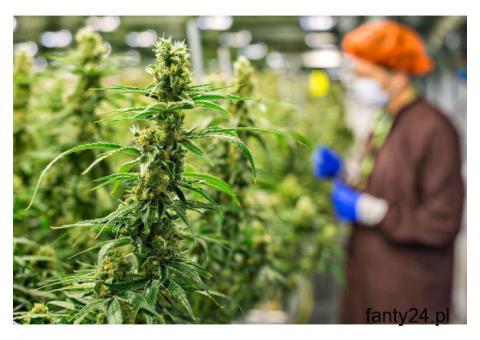 Legalna inwestycja w marihuanę. Błyskawiczne zyski!